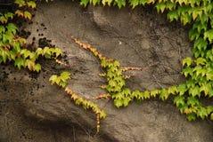Wijnbouw op rotsen stock afbeelding