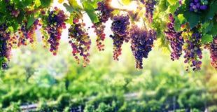 Wijnbouw The Sun die rijpt royalty-vrije stock fotografie