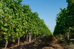 wijnbouw Wijngaardaanplanting van druiven dragende wijnstokken stock afbeeldingen