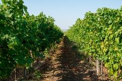wijnbouw Wijngaardenrijen Wijnstokken met druppelbevloeiing stock foto