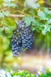 Wijndruif, bessen van vergankelijke bosrijke wijnstokken stock fotografie