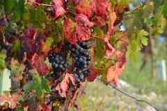 Wijndruif in de herfst Stock Fotografie