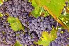 Wijndruiven klaar voor Oogst Royalty-vrije Stock Afbeelding