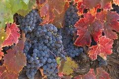 Wijndruiven klaar voor Oogst Stock Afbeeldingen