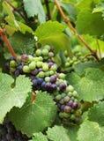 Wijndruiven in wijngaard Stock Afbeelding