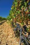Wijngaard #002 Stock Afbeeldingen