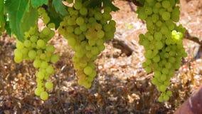 Wijngaard stock footage