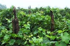 Wijngaard 2 Stock Foto