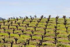 Wijngaard 2 Stock Afbeeldingen