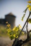 Wijngaard Royalty-vrije Stock Fotografie