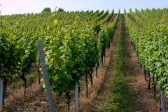 Wijngaard Stock Foto's