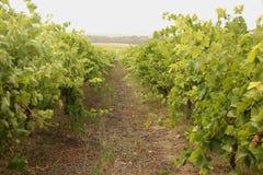 Wijngaard royalty-vrije stock foto