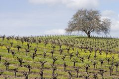 Wijngaard 4 Royalty-vrije Stock Foto's