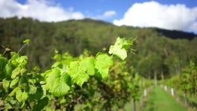 Wijngaard stock videobeelden