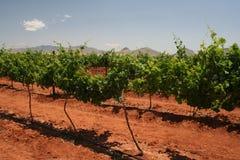 Wijngaard in Arizona Royalty-vrije Stock Afbeeldingen