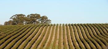 Wijngaard in Australië Royalty-vrije Stock Afbeeldingen