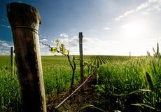 Wijngaard in Barossa Stock Afbeeldingen