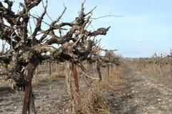 Wijngaard bij de winter Stock Foto's