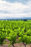 Wijngaard bij de zomer in Languedoc-Roussillon Stock Foto's