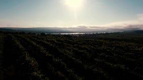 Wijngaard bij zonsondergang stock footage