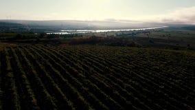 Wijngaard bij zonsondergang stock videobeelden