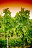 Wijngaard bij zonsondergang Royalty-vrije Stock Afbeeldingen