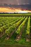 Wijngaard bij zonsondergang Stock Afbeeldingen