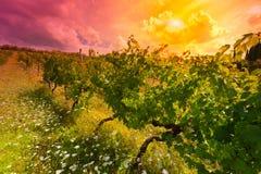 Wijngaard bij Zonsondergang Royalty-vrije Stock Foto