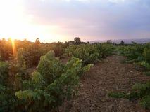 Wijngaard bij zonsondergang Royalty-vrije Stock Foto's