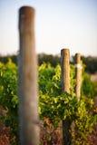 Wijngaard bij zonsondergang Royalty-vrije Stock Afbeelding