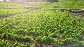 Wijngaard bij zonsondergang - luchtmening stock videobeelden