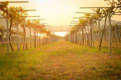 Wijngaard bij zonsondergang in platteland Stock Fotografie