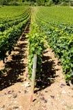 Wijngaard in Bourgondië Stock Fotografie