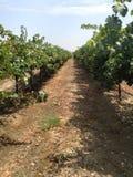 Wijngaard in Californië stock fotografie