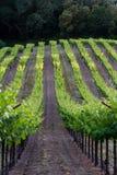 Wijngaard in Californië Royalty-vrije Stock Foto