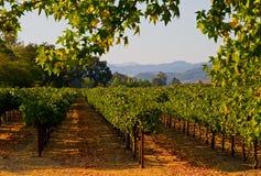 Wijngaard in Californië bij zonsondergang Stock Foto