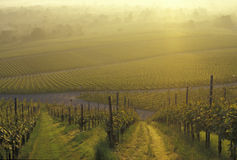 Wijngaard in de dageraad Royalty-vrije Stock Foto