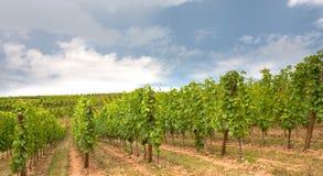 Wijngaard in de Elzas Royalty-vrije Stock Afbeelding