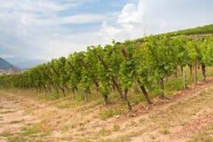 Wijngaard in de Elzas Royalty-vrije Stock Foto's