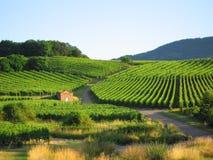 Wijngaard in de Elzas Stock Fotografie
