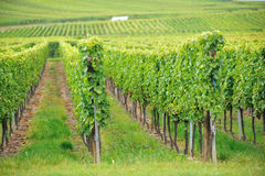 Wijngaard in de Elzas, Frankrijk royalty-vrije stock foto