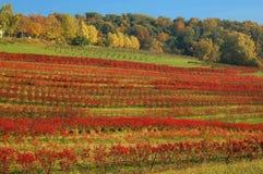 Wijngaard in de Herfst Stock Foto