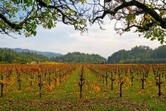 Wijngaard in de herfst Royalty-vrije Stock Foto's