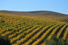 Wijngaard in de Herfst Royalty-vrije Stock Fotografie
