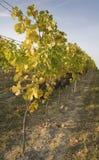Wijngaard in de herfst Royalty-vrije Stock Foto