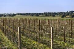 Wijngaard in de herfst en de holm eik op de achtergrond spanje stock afbeelding