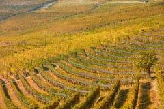 Wijngaard in de herfst met gele en groene bladeren en boom in Italië Royalty-vrije Stock Afbeeldingen