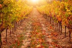 Wijngaard in de herfst, met helder zonlicht en gouden tonen De Provence, Frankrijk in Oktober stock fotografie