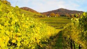 Wijngaard in de herfst no.8 Royalty-vrije Stock Fotografie