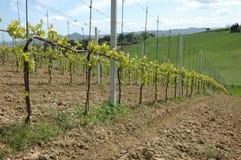 Wijngaard in de heuvels Royalty-vrije Stock Fotografie